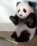 stupid panda